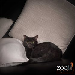 cat amongst the cushions - black domestic girl