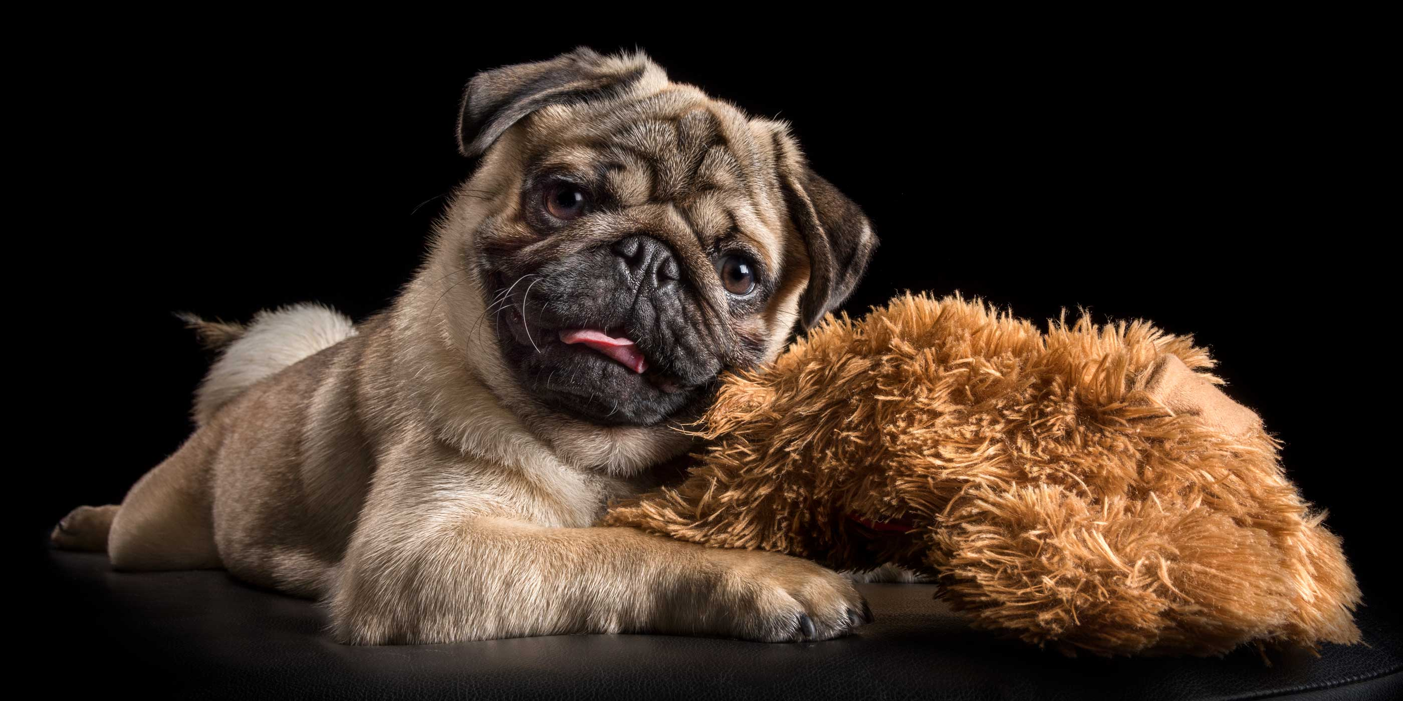 young fawn pug reclining with brown cuddle toy