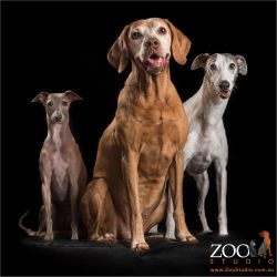 trio of fur siblings italian greyhound, hungarian vizsla and whippet