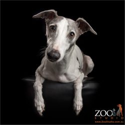 grey and white italian greyhound