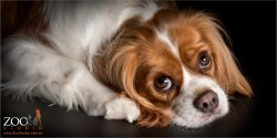 Soulful look from cavalier king charles spaniel
