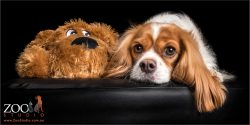 cavalier king charles spaniel snuggling with plush toy