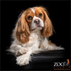 regal sit from cavalier king charles spaniel
