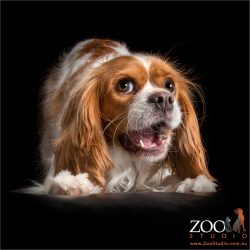 talking cavalier king charles spaniel