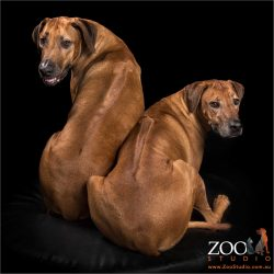 pair of rhodesian ridgebacks showing their ridges