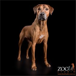 regal stance of female rhodesian ridgeback