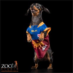 leaping black dachshund wearing brisbane lions jersey