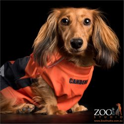 red long haired dachshund wearing orange jersey