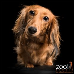 long haired and long eared dachshund walking