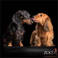 kissing dachshunds fur-sisters one black and one red
