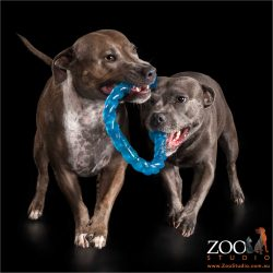 running the ring - pair of staffies playing tug-o-war