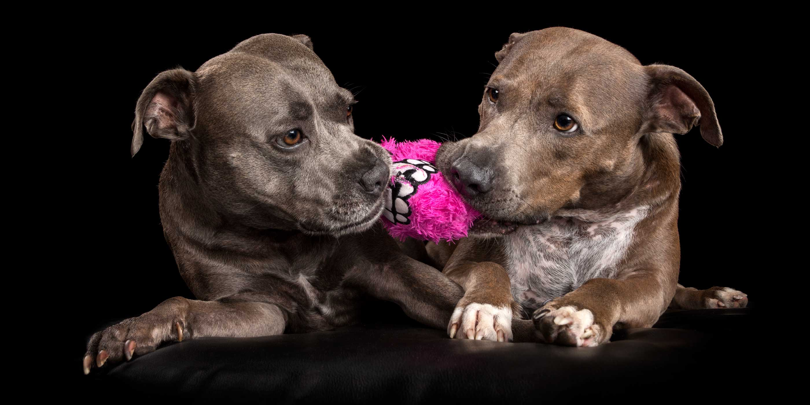 blue staffie vs blue fawn staffie over bright pink toy