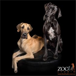 great dane fur-siblings fawn boy and black girl