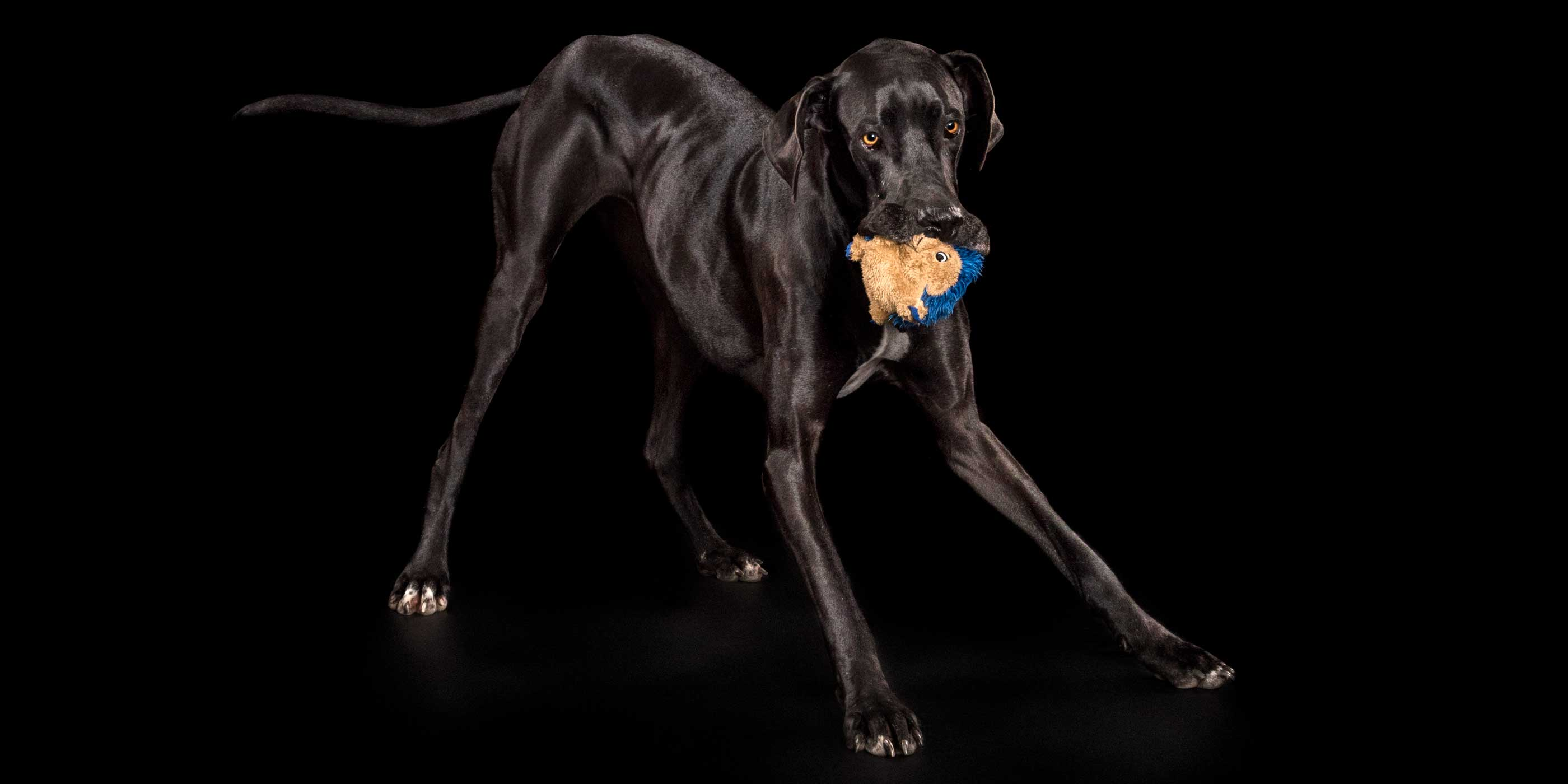 shiny black great dane girl bowing with soft toy in mouth