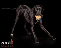play bowing black great dane with stuffed toy in mouth