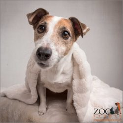 Jack Russell draped in cream snuggle rug