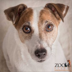sweet look from older jack russell boy
