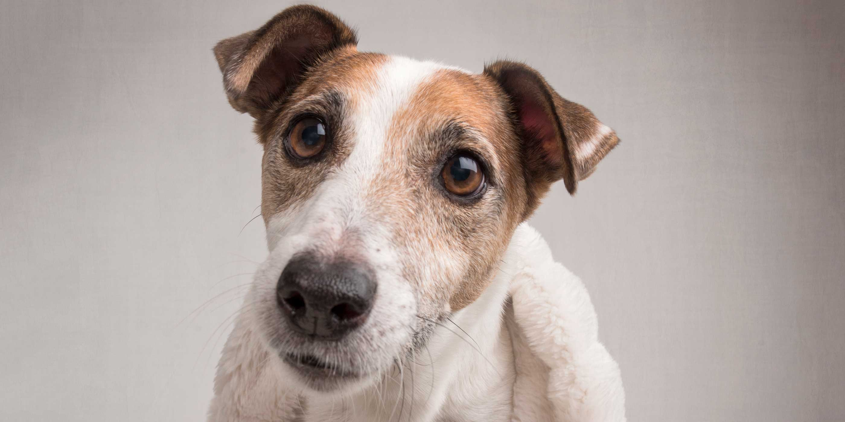 full face of male jack russell dog