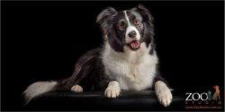 beautiful black and white borer collie girl