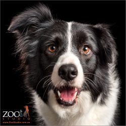 smiling face shot of black and white border collie girl