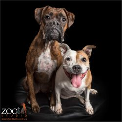 fur sisters sitting together boxer and staffordshire bull terrier