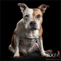 intent stare from female staffy dog