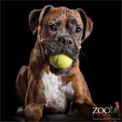 brindle boxer with mouth  full of tennis ball