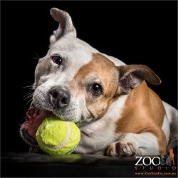 tan and white staffy girl chewing on tennis ball