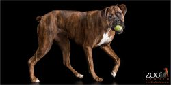 female brindle boxer with tennis ball in mouth
