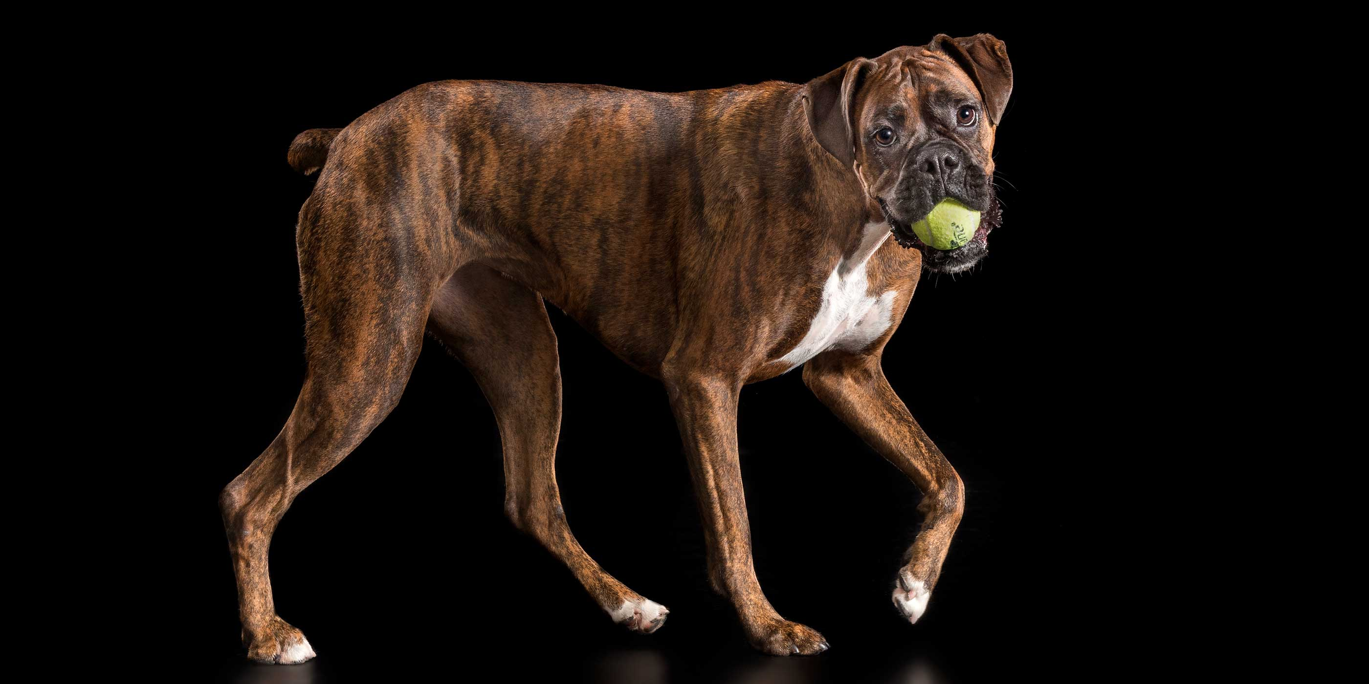walking brindle boxer girl with green ball in mouth