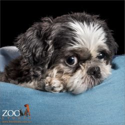 sweet faced shih tzu
