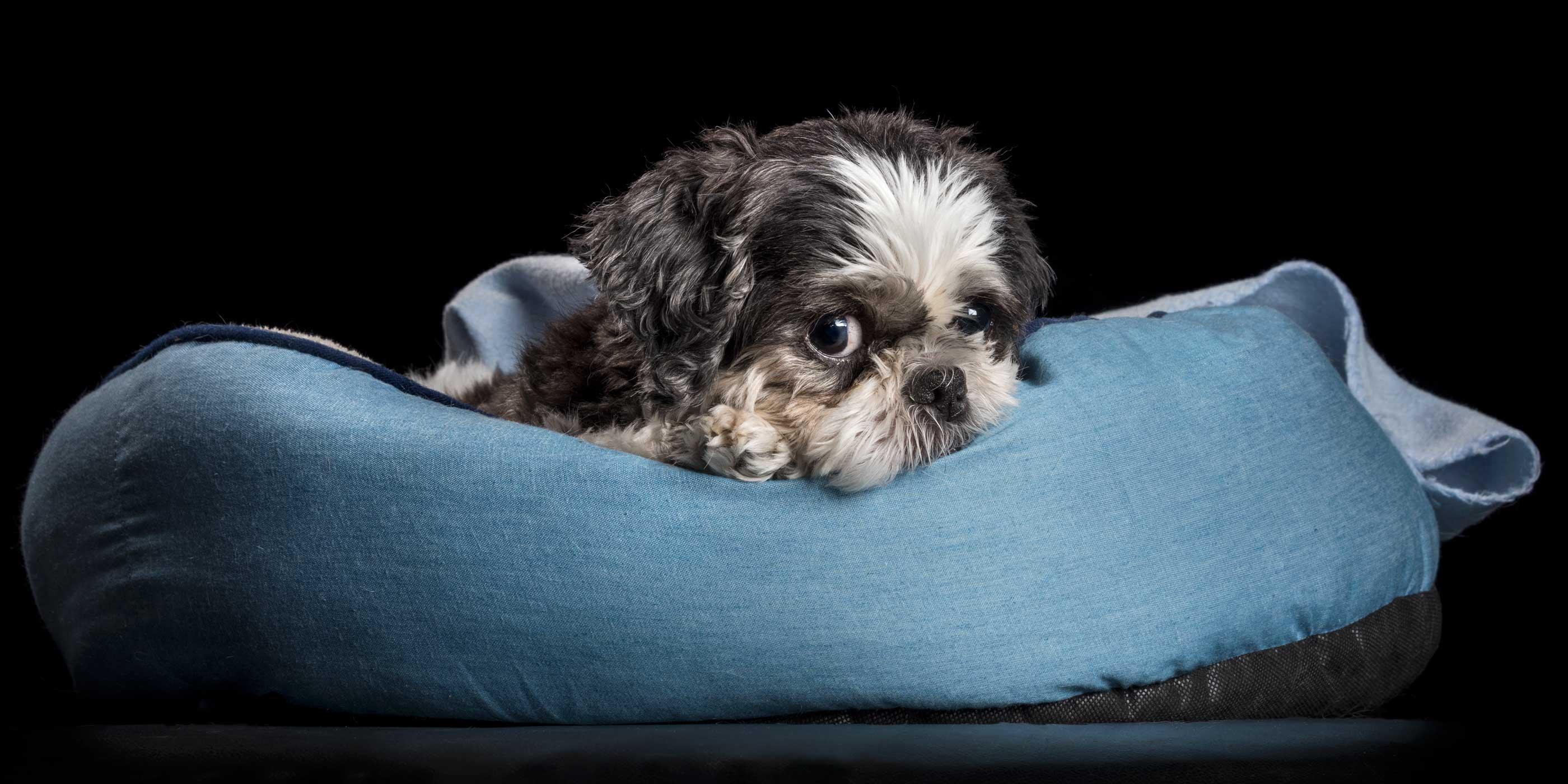 snuggling shih tzu boy on blue blanket