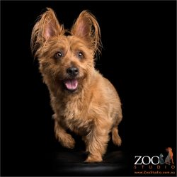 big earred tan australian terrier male