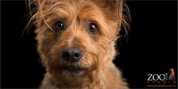 face close up female tan australian terrier