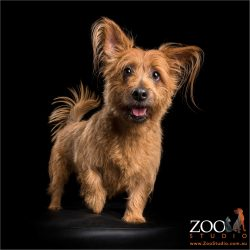 strutting her stuff tan australian terrier
