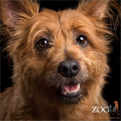 smiling pretty girl australian terrier