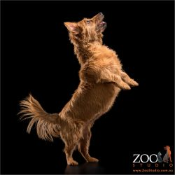 dancing female australian terrier dog