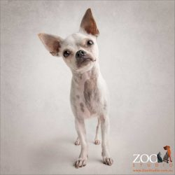 short haired chihuahua standing up