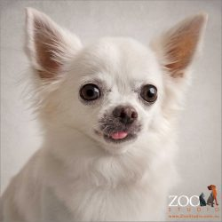 poking out tongue by cheeky white chihuahua
