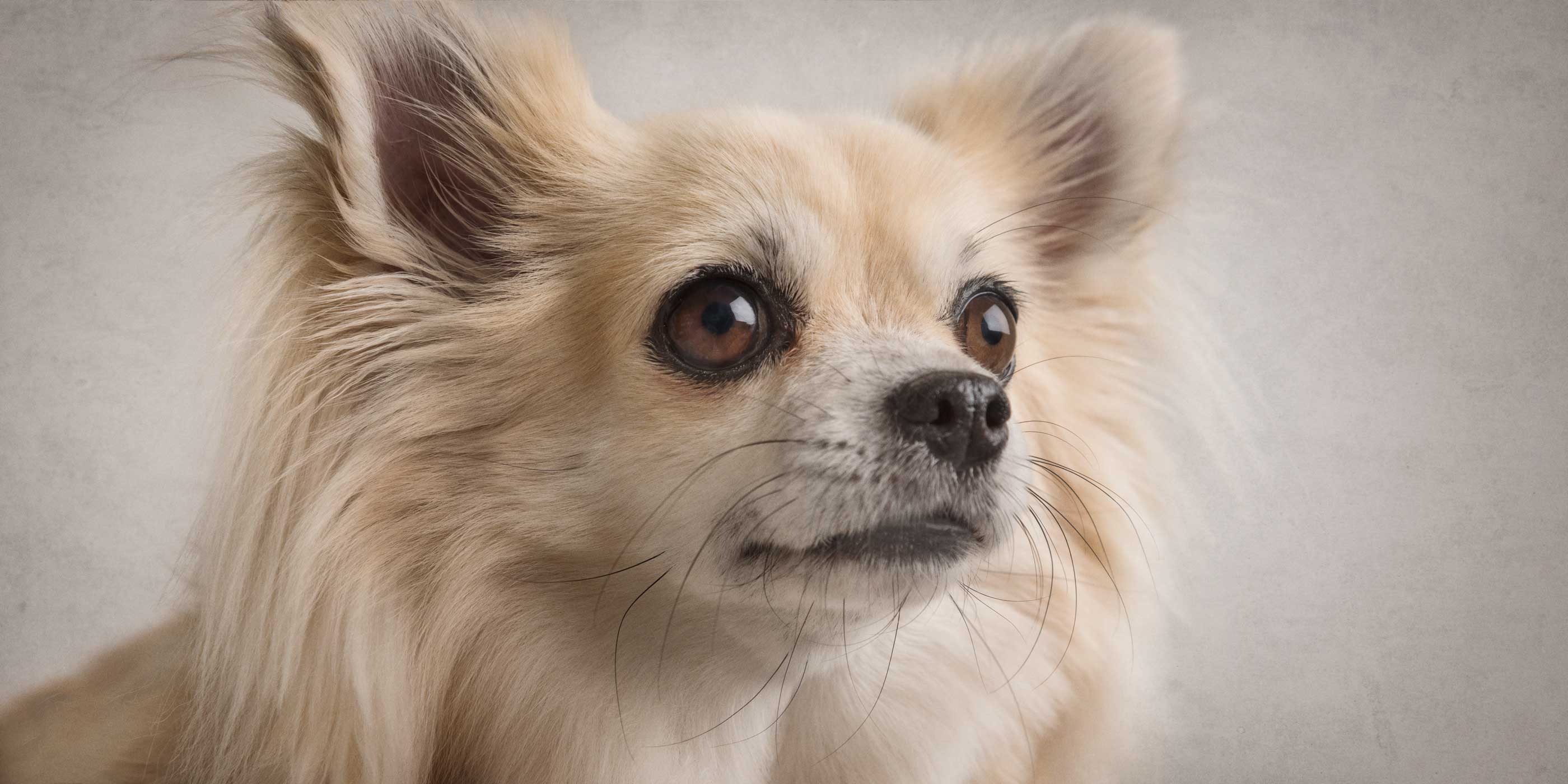 sweet face on golden long haired male chihuahua