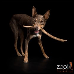 red kelpie with huge stick in mouth