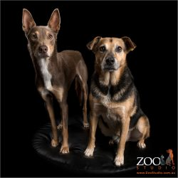 working dog fur-siblings kelpie and cattle dog cross