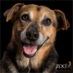 smiling black and brown cattle dog cross