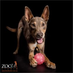 play bow from kelpie with pink ball