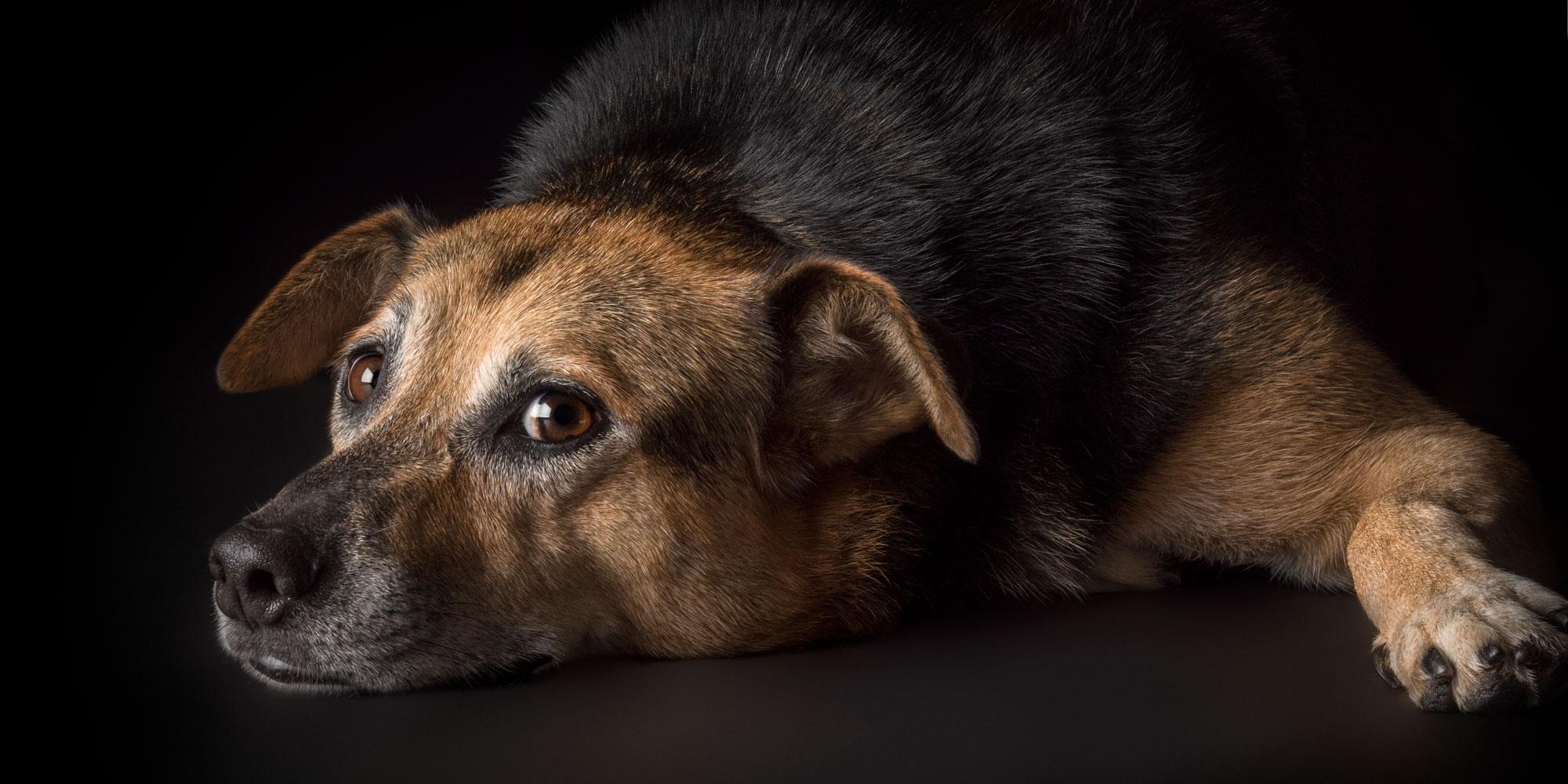 sweet faced australian cattle dog cross with head down