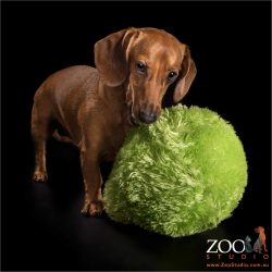 mini dachshund boy with giant green ball