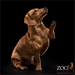 high fiving mini tan dachshund