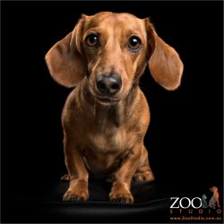 petite mini dachshund looking front on