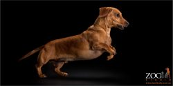 leaping mini dachshund boy