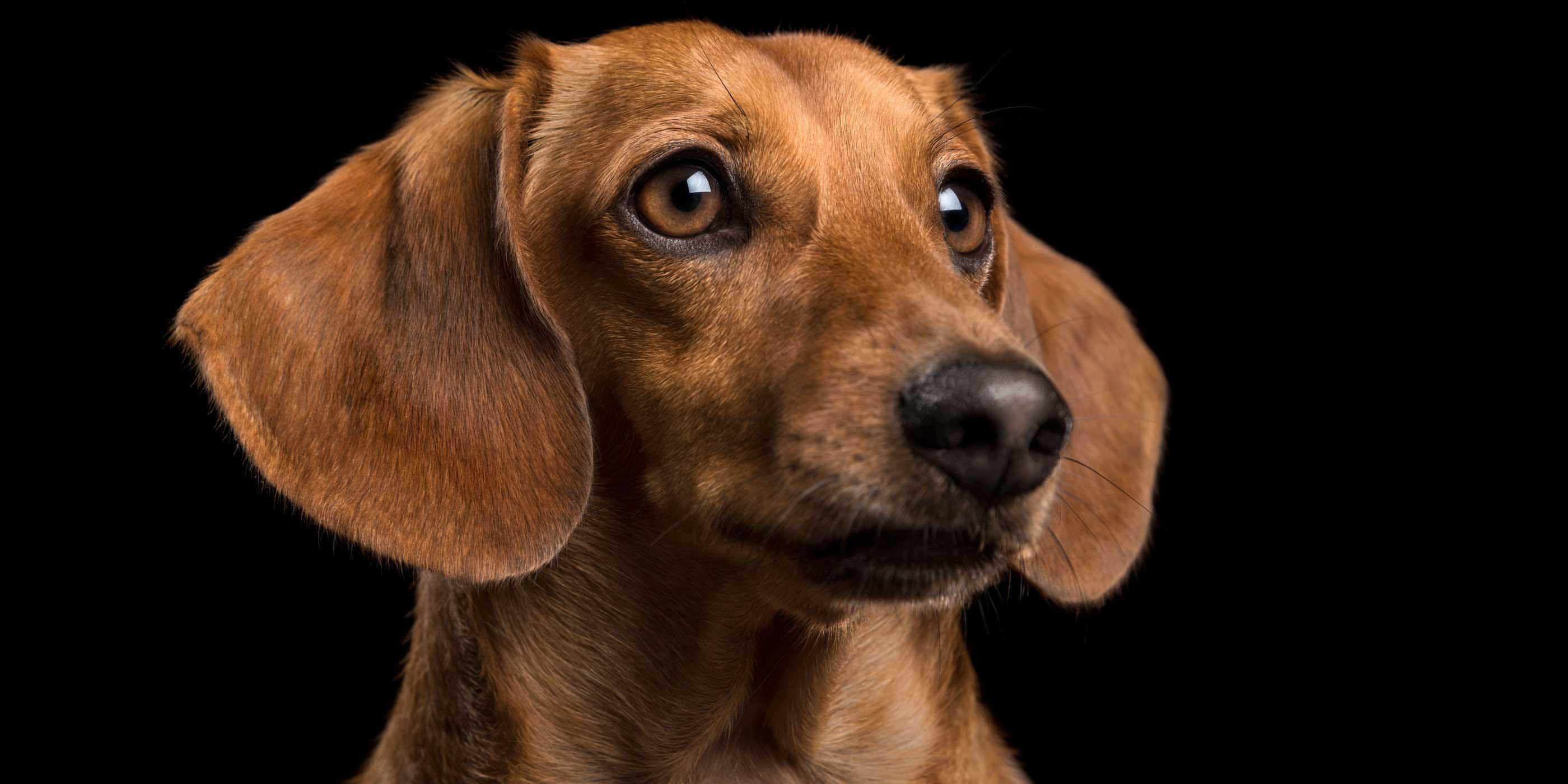 regal profile of mini tan dachshund